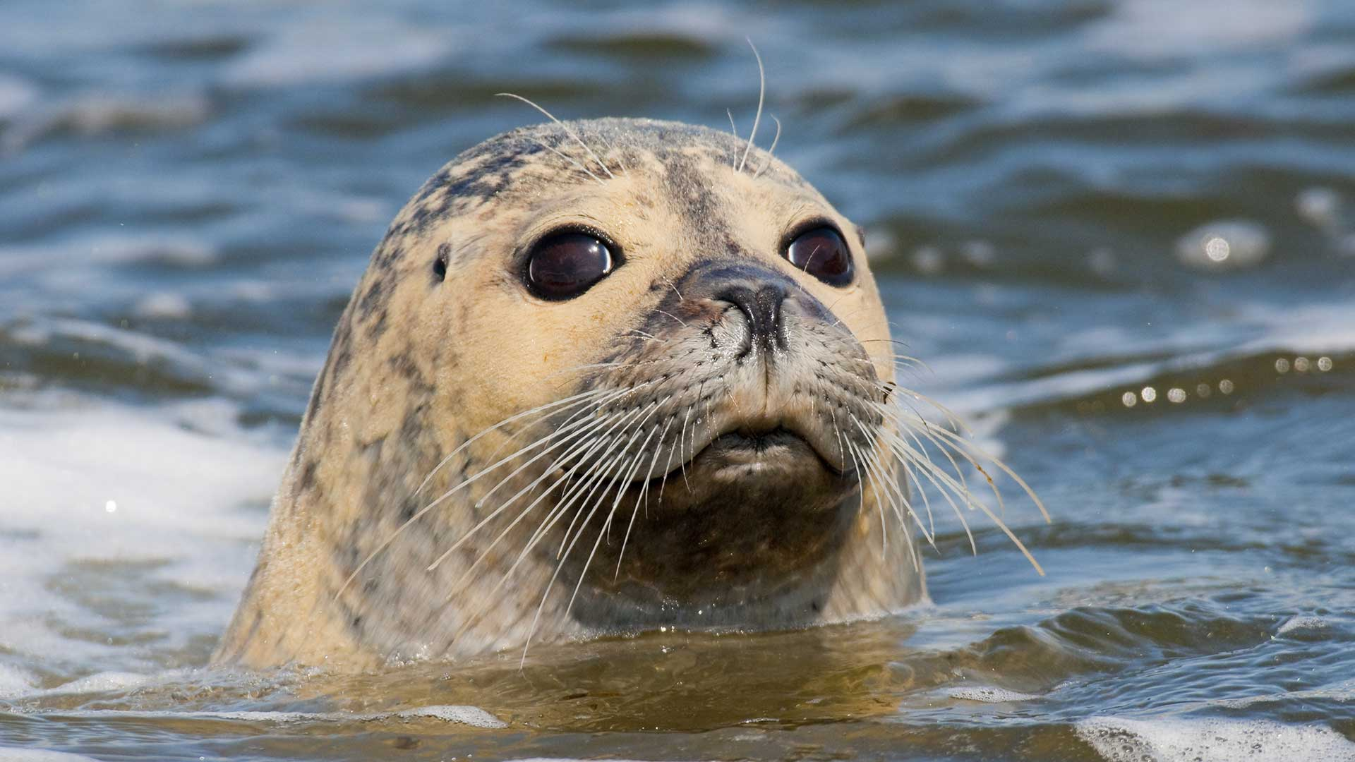 European common seal