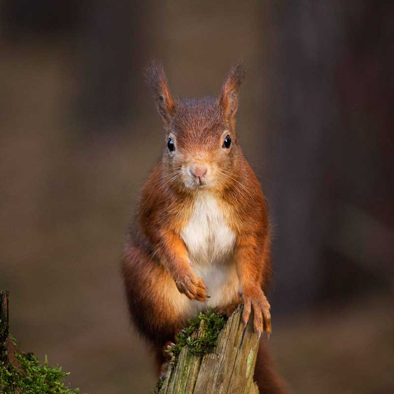 Red Squirrel by Rebecca Prest on Unsplash
