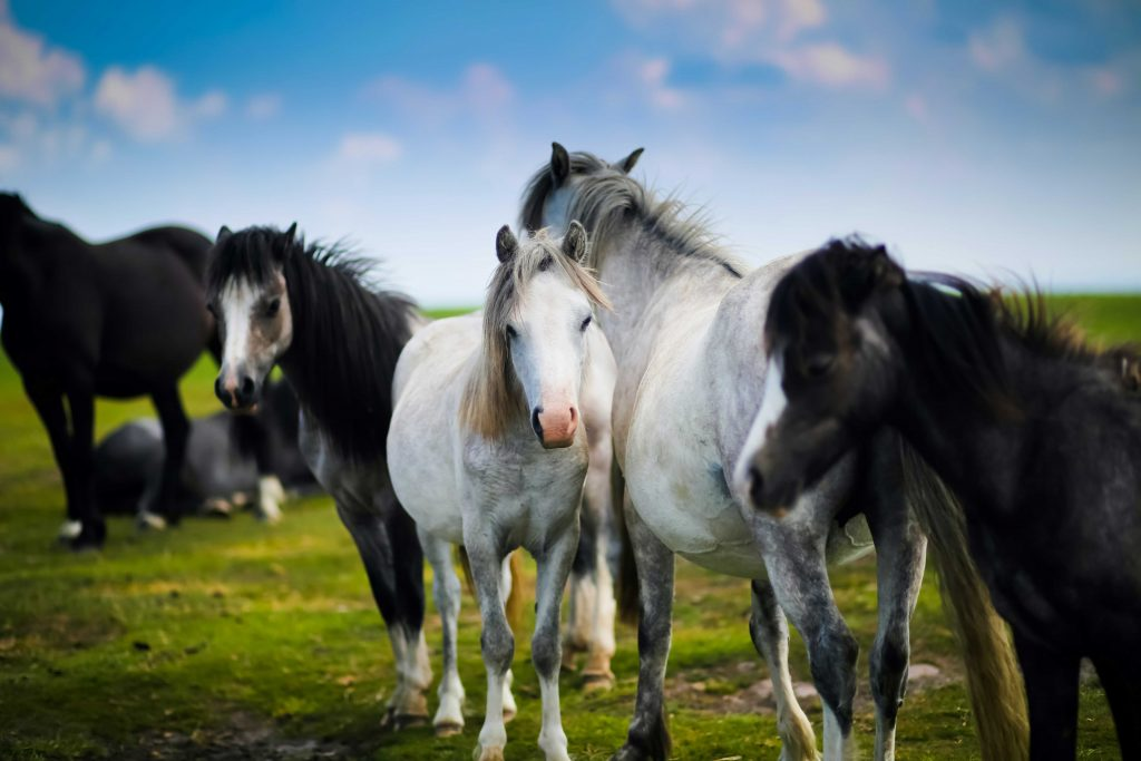 Welsh Ponies by Sammy Leigh Scholl on Unsplash